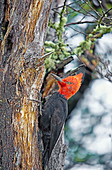 Male Magellanic Woodpecker,(Compephilus magellanicus), Lago Gray, Torres del Paine National Park, Patagonia, Chile, South America.