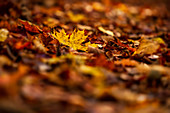 Autumn leaves on a forest path, Bavaria, Germany, Europe