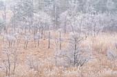 Hoarfrost morning in the moor near Eschenlohe, Garmisch-Partenkirchen district, Upper Bavaria, Bavaria, Germany, Europe