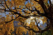Sycamore maple in autumn sunlight, Eng Alm, Hinterriß, Karwendel, Tyrol, Austria