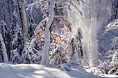 Neuschnee im Rotbuchenwald, Bayern, Deutschland, Europa
