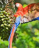 Scarlet Macaw (Ara macao) perching on a tree, Corcovado National Park, Osa Peninsula, Costa Rica