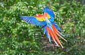 Scarlet Macaw (Ara macao) on flight, Corcovado National Park, Costa Rica