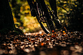 Close up of mountain bikers on a foliage trail, mountain biking, autumn, forest