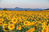France, Puy de Dome, sunflower field near Billom, Chaine des Puys, area listed as World Heritage by UNESCO, Regional Natural Park of the Auvergne Volcanoes