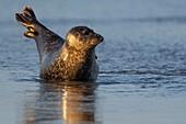 France, Pas de Calais, Cote d'Opale, Authie Bay, Berck sur mer, common seal (Phoca vitulina) resting on sandbanks at low tide