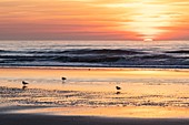 France, Somme, Bay of Somme, Quend Plage, sea birds (seagulls and gulls) on the beach at sunset