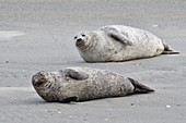 France, Somme, Berck sur Mer, Bay of Authie, seals at low tide on the sand