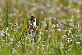 France, Doubs, Eurasian skylark (Alauda arvensis) on the ground, singing
