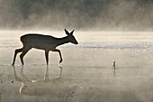 France, Doubs, Brognard, Allan's, natural area, mammal, deer crossing a body of water in the mist