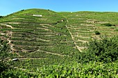 France, Rhone, Ampuis, vineyard AOC Cote Rotie, Domaine Guigal