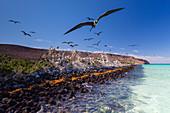 Magnificent frigatebird (Fregata magnificens), breeding colony in Bahia Gabriel, Isla del Espiritu Santo, Baja California Sur, Mexico, North America