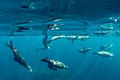 California sea lion (Zalophus californianus), underwater at Los Islotes, Baja California Sur, Mexico, North America