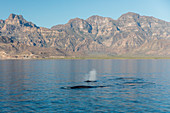 Adult fin whales (Balaenoptera physalus) surfacing in Loreto Bay National Park, Baja California Sur, Mexico, North America