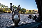 Curious burro inspects my car at Mesquite Canyon, Sierra de la Giganta, Baja California Sur, Mexico, North America