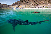 A young whale shark (Rhincodon typus), near kayaker in Bahia Coyote, Conception Bay, Baja California Sur, Mexico, North America