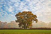 Autum leaves on oak tree in morning mist, Highclere, Hampshire, England, United Kingdom, Europe