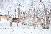 Snow blizzard over reindeers in the frozen forest, Lapland, Finland, Europe