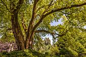 Large Japanese maple in the courtyard garden of Freising, Upper Bavaria, Bavaria, Germany