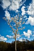 Cherry blossom in spring, Rheinbreitbach, Rhineland-Palatinate, Germany