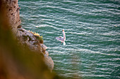 Gull lands on the cliff near Étretat, Normandy, France, with wings outstretched.