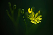 Forest hawkweed in spring light, Bavaria, Germany