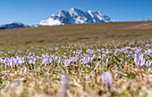 Crocuses at the foot of a humpback meadow near Krün in front of the Wetterstein Mountains, Bavaria, Germany, Europe