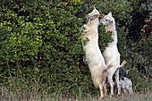Goats feed on a bush, Place Fiskardo on the north coast of the island of Kefalonia, Ionian Islands, Greece