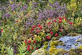 Swedish dogwood, heather, Lofoten, Nordland, Norway