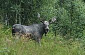 Moose, Vestland, Norway