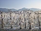 Frost protection, iced apricot trees, Wachau, Lower Austria, Austria