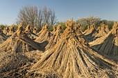 dried reeds, Neusiedlersee, Burgenland, Austria