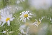 Margariten, flower meadow, Tyrol, Austria