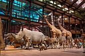 France, Paris, Museum National d'Histoire naturelle (national museum of natural history), La Grande Galerie de l'Evolution (evolution gallery) by the architect Paul Chemetov, scenography Rene Allio