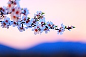 France, Vaucluse, Luberon Regional Natural Park, Lourmarin, Most Beaul Villages of France, almond blossom