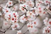 France, Alpes de Haute Provence, Saint Jurs, almond trees in bloom
