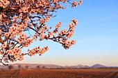 France, Alpes de Haute Provence, Verdon Regional Nature Park, Plateau de Valensole, Valensole, lavender and almond blossom field