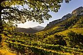 France, Vaucluse, Dentelles de Montmirail, vineyard of Gigondas, in the background Mont Ventoux