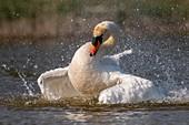 France, Somme, Baie de Somme, Baie de Somme Nature Reserve, Marquenterre Ornithological Park, Saint Quentin en Tourmont, Mute Swan (Cygnus olor Mute Swan)