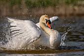 France, Somme, Baie de Somme, Baie de Somme Nature Reserve, Marquenterre Ornithological Park, Saint Quentin en Tourmont, Mute Swan (Cygnus olor Mute Swan) bath (toilet)
