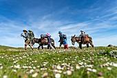 France, Pyrenees Atlantiques, Basque Country, Saint Etienne de Baigorry region, family hiking on a donkey on the paths of Saint Jacques de Compostelle