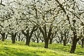 France, Meurthe et Moselle, Cotes de Toul, Lagney, cherry plum trees in bloom