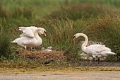 France, Somme (80), Somme Bay, Crotoy Marsh, Mute Swan Family (Cygnus olor - Mute Swan) with babies