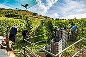 France, Pyrenees Atlantique, Basque Country, Irouleguy, Harvest in Arretxea Estate
