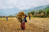 Harvesting rice and wheat, field workers, Bumthang village, Bhutan, Asia