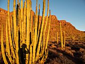 Organ pipe cactus (Stenocereus thurberi), Organ Pipe Cactus National Monument, Sonoran Desert, Arizona, United States of America, North America