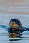 Curious adult bearded seal (Erignathus barbatus), swimming in Makinson Inlet, Ellesmere Island, Nunavut, Canada, North America