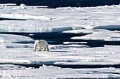 Adult polar bear (Ursus maritimus), walking on open ice, Queen's Channel, Cornwallis Island, Nunavut, Canada, North America