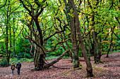 Beech tree woodland in autumn, pedestrians walking through the trees, Hampstead Heath, London, England, United Kingdom, Europe