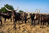 Cows with huge horns, Animal market, Agadez, Niger, Africa